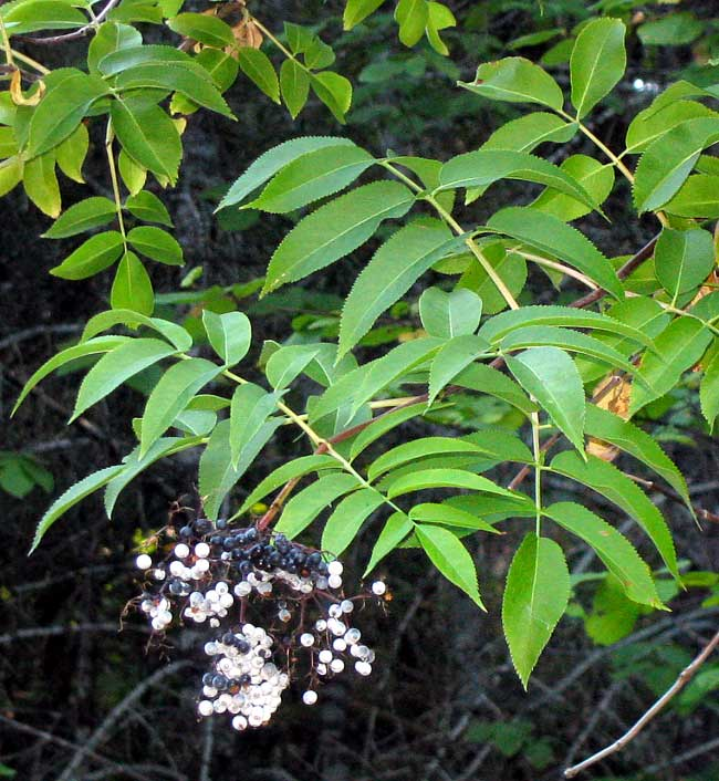 Blue Elderberry, Sambucus cerulea