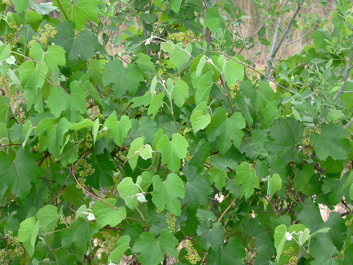 Canyon Grape, Vitis arixonica