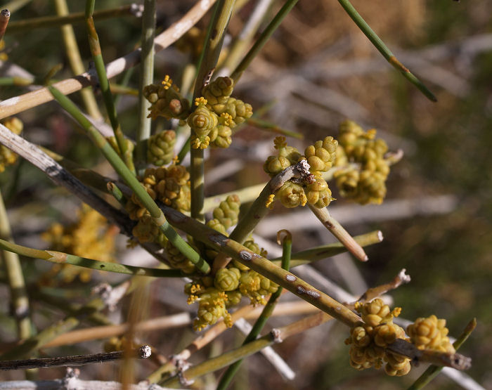 Nevada Jointfir, Ephedra nevadensis