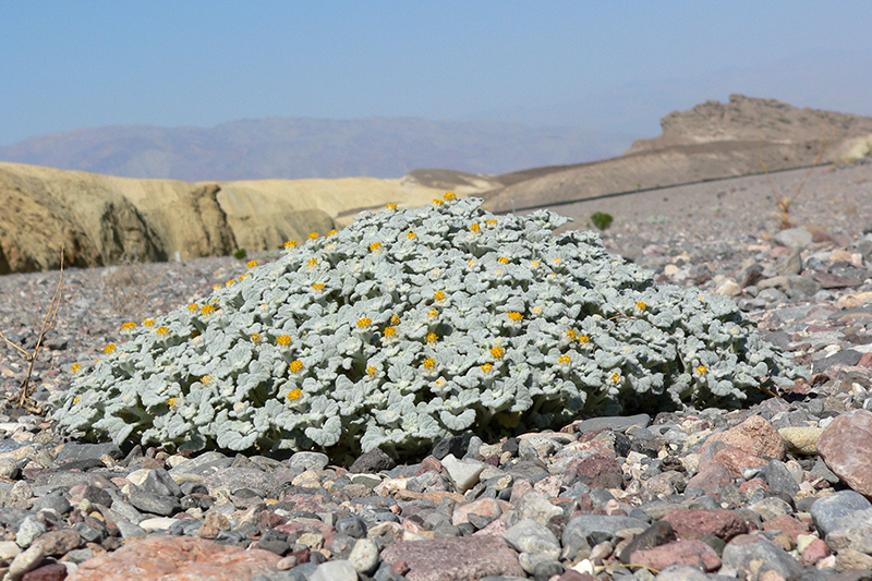 herbaceous plants of the mesquite nevada desert