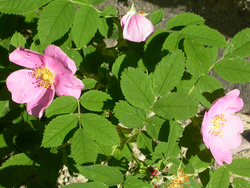 Wood's Rose, Rosa woodsii